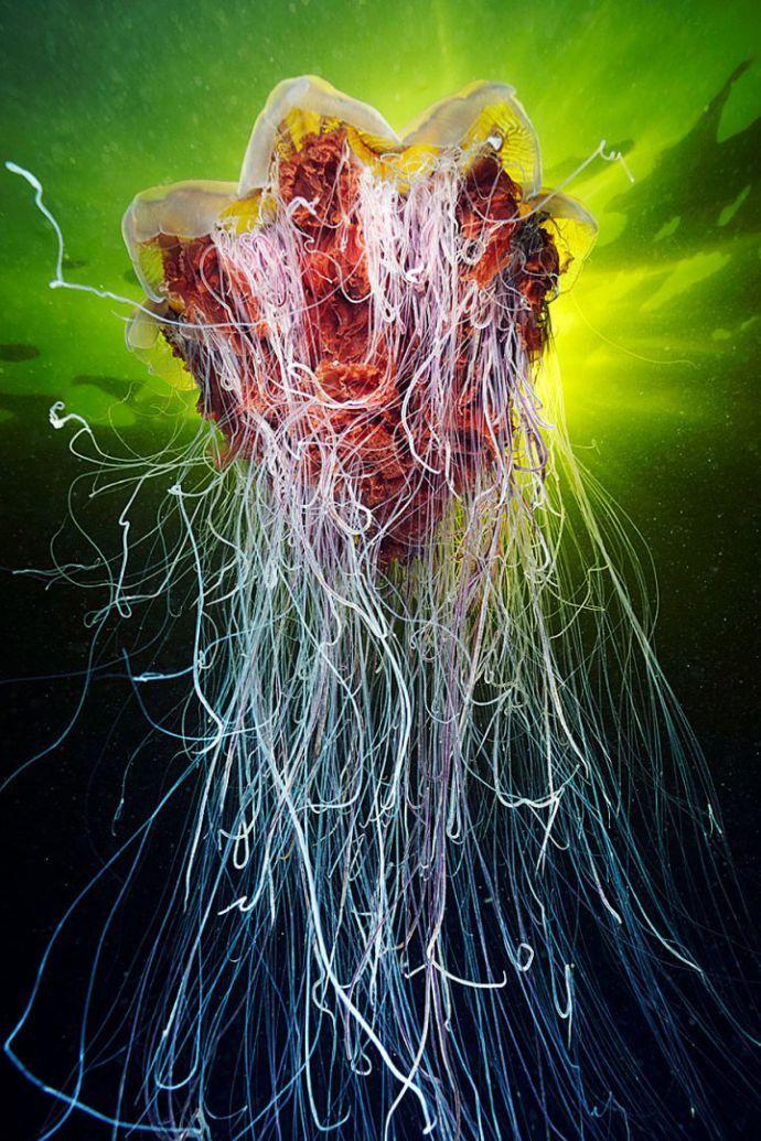 Инопланетная красота медуз в фотографиях Александра Семенова - Colors.life