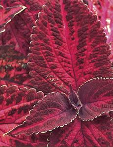 Coleus 'Kingswood Torch'\// Great Gardens & Ideas //