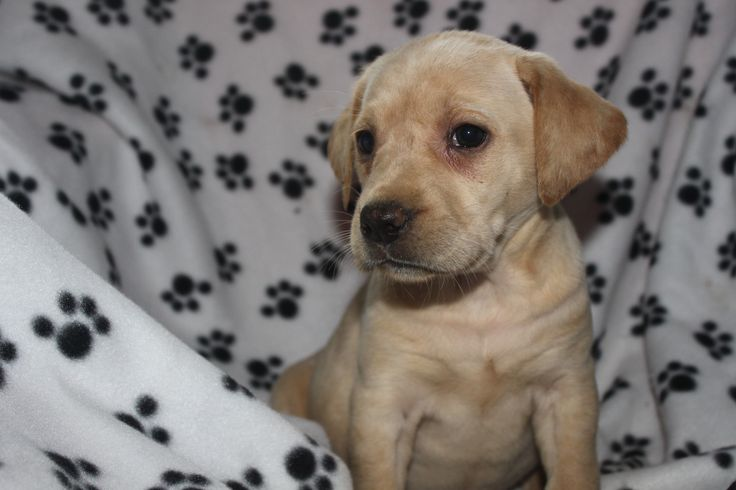 Yellow Labrador retriever puppy - here is a female offered at http://www.network34.com
