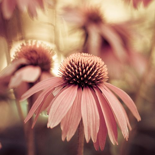 I love the color!: Flowers Photography, Pink Flowers, Blushes E.L.F., Pretty Pink, Dusty Pink, Pink Daisies, Beautiful Flowers, Photography Pictures, Depth Of Fields