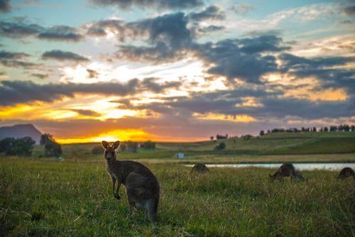 Chasing Kangaroos up in the Hunter Valley Pokolbin, New south Wales, Australia