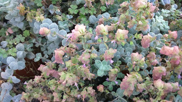 Origanum dictamnus seeds | Pangaiaseeds.com