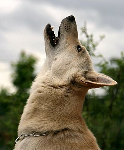 Canaan Dog howling, got prefect match for this breed on the animal planet quiz. They are beautiful dogs too.