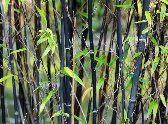 Phyllostachys nigra, le bambou aux cannes noires