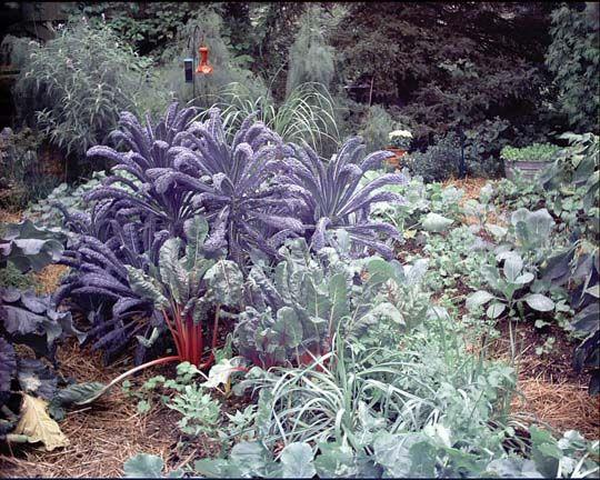 http://www.unquadratodigiardino.it/cose-da-sapere-a-z/c/163-c-di-cavoli-ornamentali-brassica-oleracea-rosa-bianco-viola-e-cavolo-nero.html