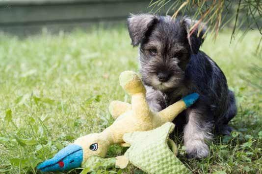 ¿Tu perro Schnauzer Miniatura debe ser adiestrado desde muy pequeño? Pero ¿Sabes que debes enseñarle? Aquí te traigo ejercicios que son utiles...