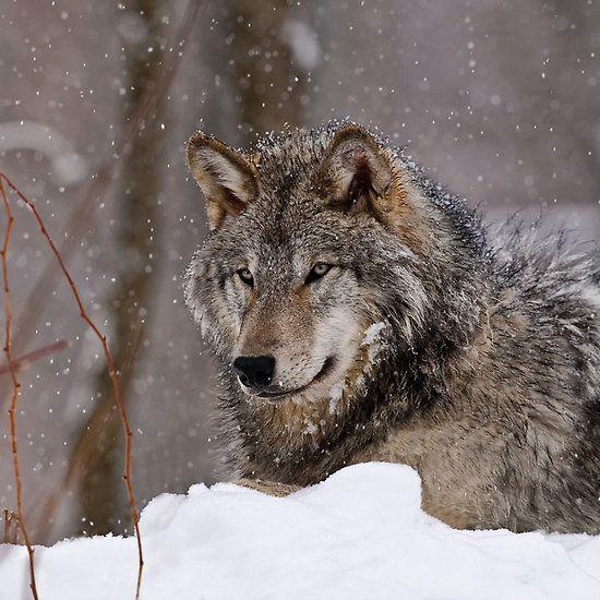 Timberwolf in Winter