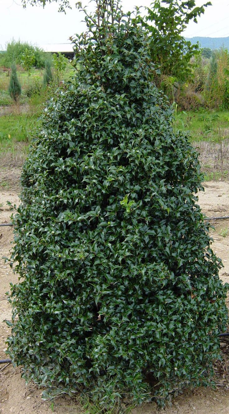 best planting materials evergreen tree images on pinterest