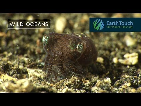 Bobtail squid are masters of hide-and-seek and it's the cutest thing | cute | Earth Touch News