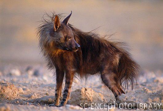 Brown hyena. I wish I had  that hair style! :P