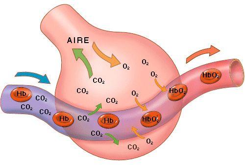 Lo que se produce dentro del alveolo pulmonar