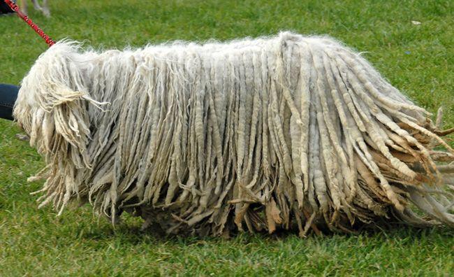 Венгерская овчарка или комондор - Поиск в Google