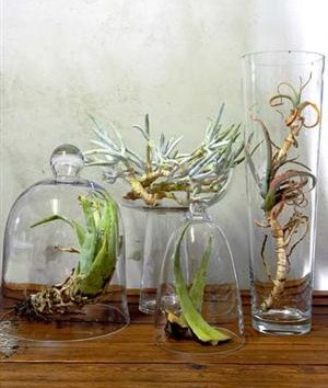 aloes in vases, roots and clods of earth