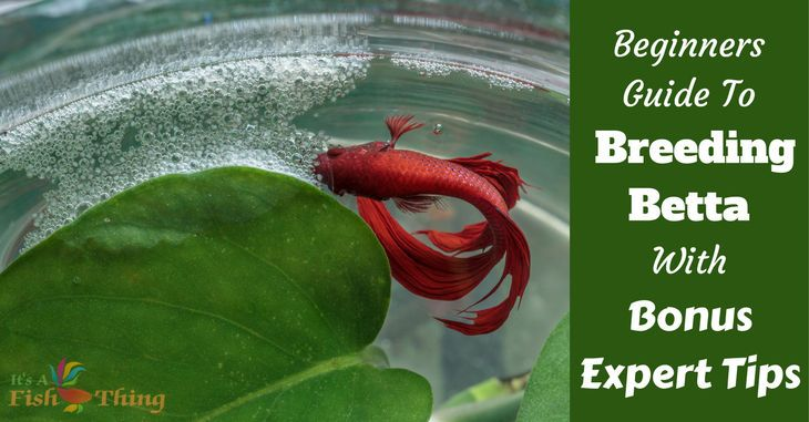 how to mate betta fish videos