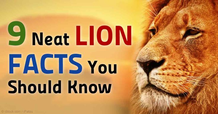Lions are often thought of as ferocious predators, but here are some interecting facts about lions that you should know. http://healthypets.mercola.com/sites/healthypets/archive/2015/05/02/lion-facts.aspx