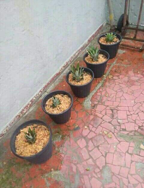 Não jogue a coroa do abacaxi fora, plante. Deixe a coroa na água por 20 dias até criar raízes, depois é só plantar.