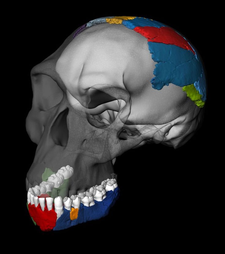 Jaws, Not Brains, Define Early Human Species