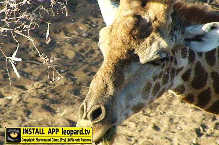 How do Giraffe clean their nostrils? #shayamanzi  #leopardtv #DidYouKnow