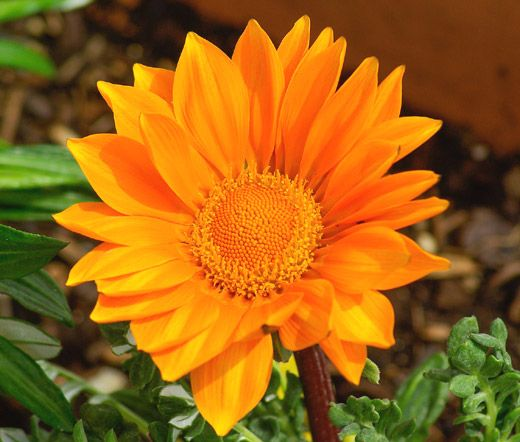 Gazania Garden Leader Orange Gazania Rigens is a very popular and widely grown ornamental garden plant that is native to South Africa. Gazania Garden Leader Orange seeds do not need any special treatment...