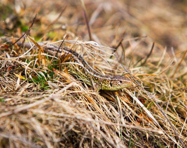 common lizard reptile in the grass