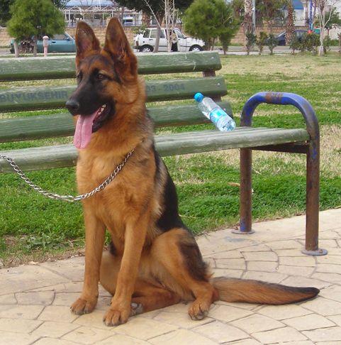 Alman Kurdu - Alman Çoban Köpeği - German Shepherdhttp://www.almankurdu.com/