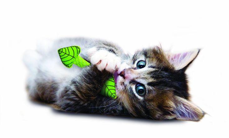Ramita de Menta $3.990 Mejora el aliento de tu gato y además le sirve para jugar. Contiene catnip http://mascos.cl/producto/ramita-de-menta-para-gatos/