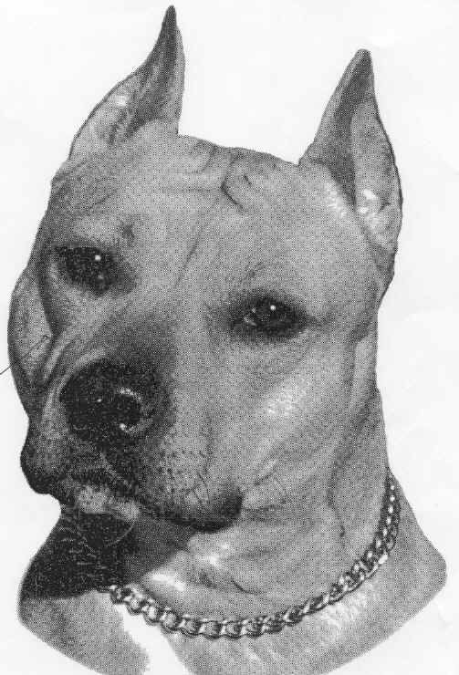 American Staffordshire Terrier head