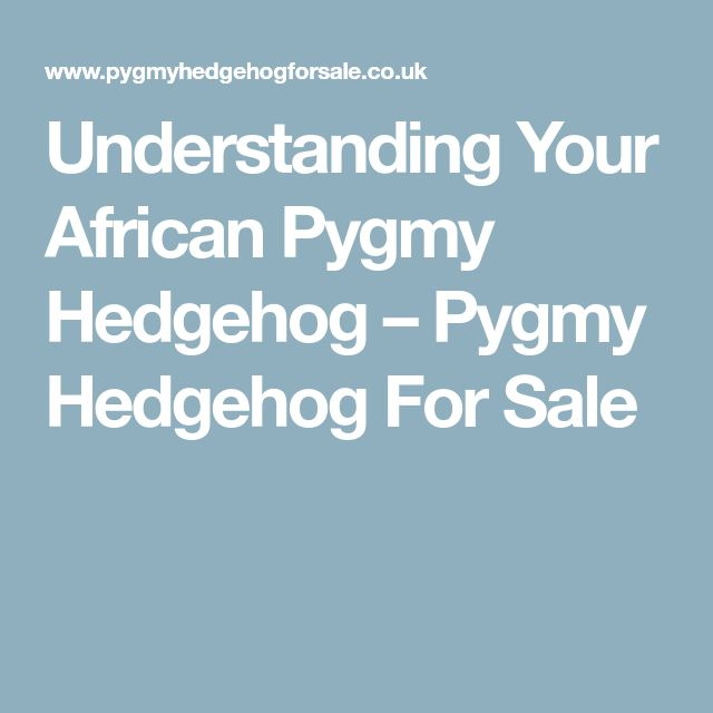 Understanding Your African Pygmy Hedgehog – Pygmy Hedgehog For Sale