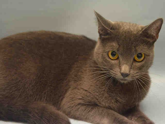 """FIFI  - A1092886 - - Manhattan  ***TO BE DESTROYED 10/17/16***FAB FIFI READY TO BE YOUR FUREVER FRIEND! Fifi is a two year old gorgeous grey angel who was sadly surrendered due to her owner moving to a place that does not allow pets. Fifi is a calm and gentle girl who is spayed and has a great behavior rating. She was described as """"an affectionate cat that loves being by her owner's side."""" Fifi came into the shelter purrfectly healthy but now that she has"""