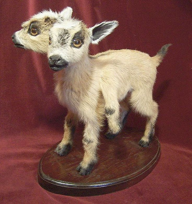 2 headed goat by Sarina Brewer | Art: Taxidermy ...