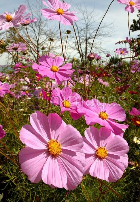 Cosmos flowers, South Africa. - mimages stock library
