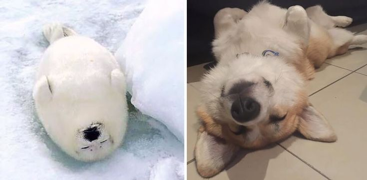"Canines share a lot of similar characteristics with seals, mainly because the two are considered Caniformes (which literally means ""dog-like""), and come from the same suborder of Carnivorans. This genetic link perfectly explains why seals are often known as the puppies of the ocean."