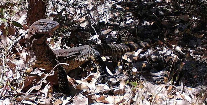Heath Monitor (Varanus rosenbergi), apparently the double band pairs on the tail is the identifying marker. Photo by: Katherine
