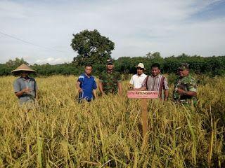 Petani Dan TNI Panen Padi Gogo Di Desa Kampak - tribunus-antara.com