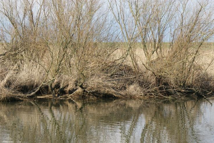 Beverburchten zie je overal in De Biesbosch.