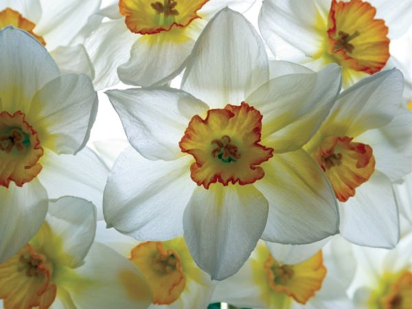 Narcissus Flower Tattoo Google Search