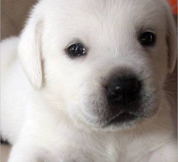 White English Labrador puppy