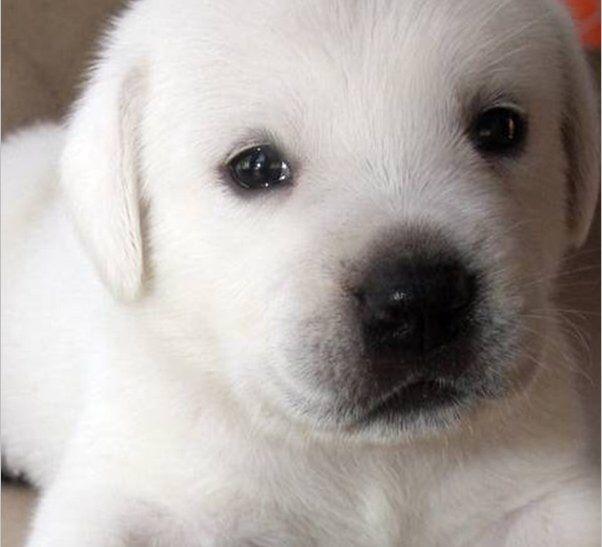 White English Labrador puppy