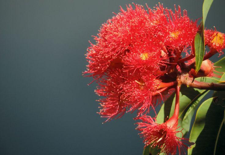 Red flowering gum - Eucalyptus (Corymbia) ficifolia (grafted) - from my front garden - Liz Powley - Gumnut Inspired - http://www.gumnut.net