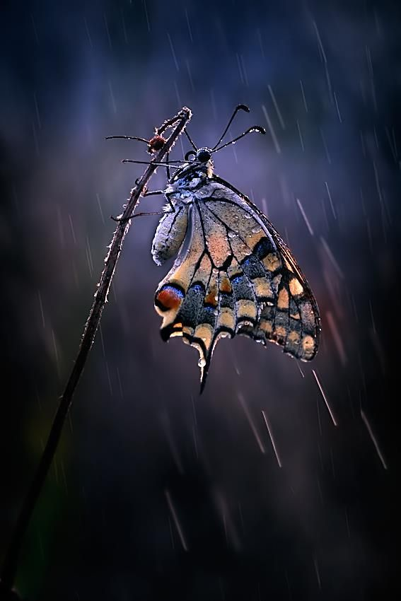 Butterfly and Rain