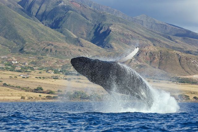 The 5 Best Places to See the Winter Humpback Whale Migration | TakePart