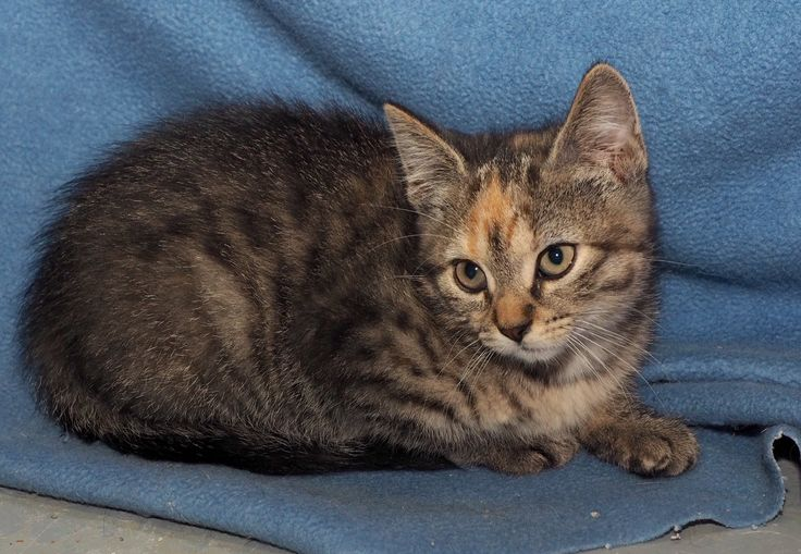 Abby is a very social and playful kitten! She enjoys the company of humans and other cats and given the proper introduction would be fine with dogs!  If you are interested in adopting Abby please contact us at Frederictoncarma@gmail.com.  The adoption fee is $125 for one or $200 for two.