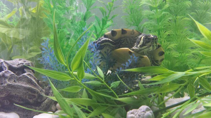 Yellow bellied slider turtle tank 75g aquarium