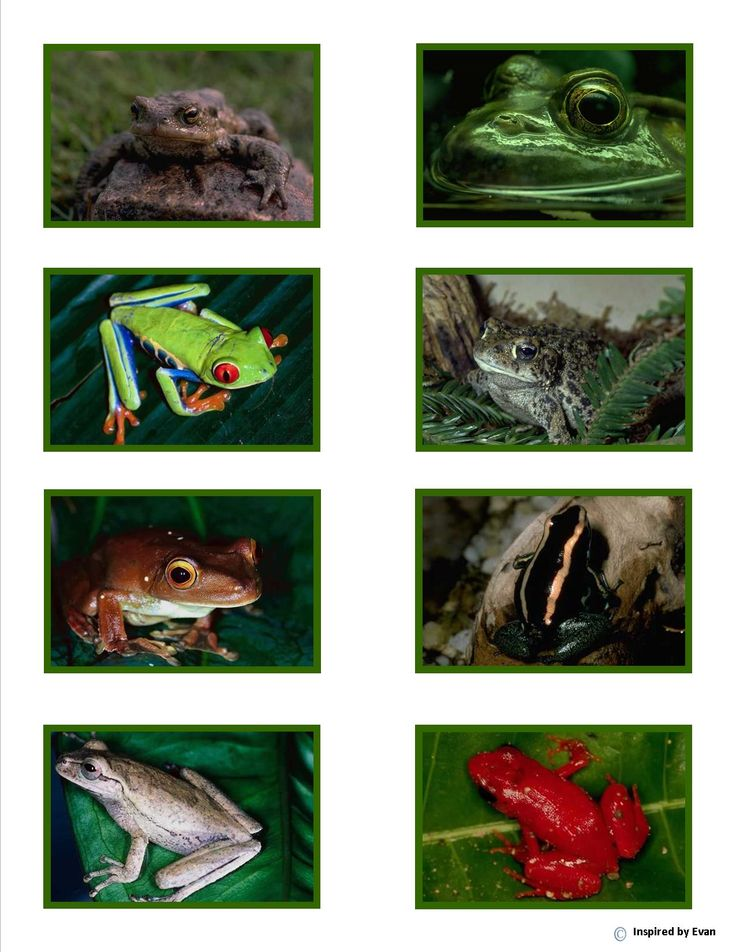 Frog Matching Flashcards from Inspired by Evan Autism Resources.