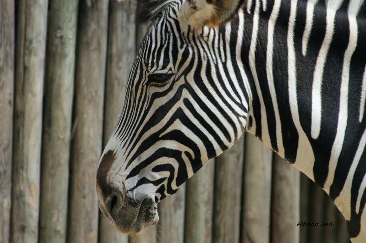 Zebra - Lisboa - Zoo