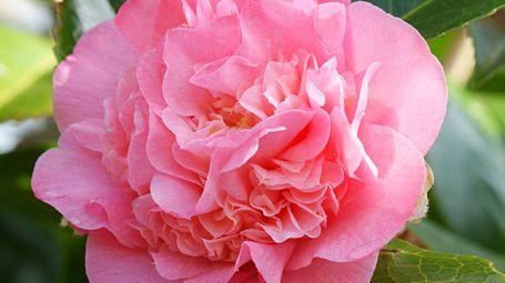 Kamelie: Pflege, Überwintern, Düngen, Schneiden - Mein schöner Garten