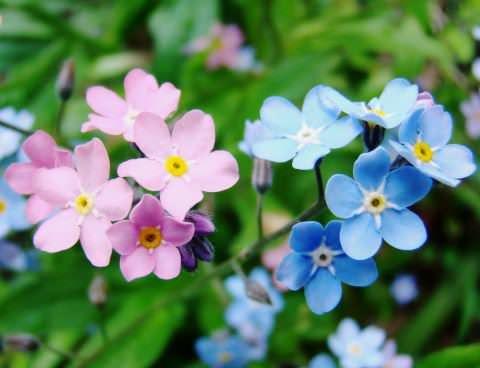 Фото цветов незабудки