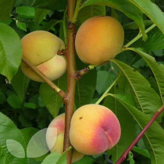 Peach & Nectarine Twin Tree Blackmoor Nurseries