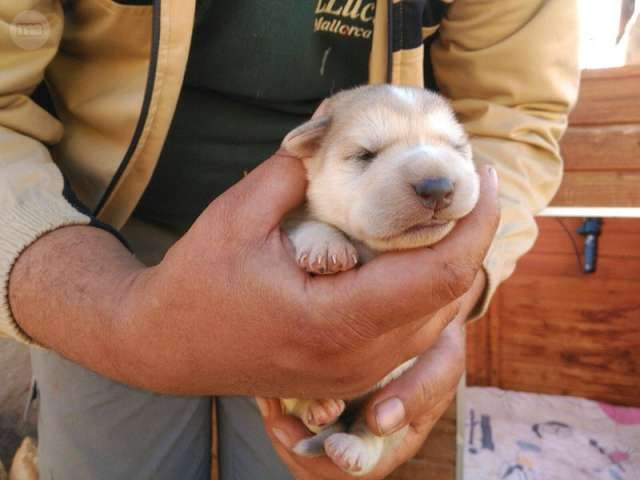 MIL ANUNCIOS.COM - Regalo cachorros. Compra-venta de perros regalo cachorros en Castellón. Regalo de cachorros..