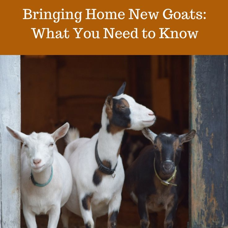 So, you've decided to bring home goats- great! But are you prepared? Bringing home new goats can be incredibly stressful both for the goats and the goat keepers. Making sure you're well prepared can make a world of difference for both of you. Basic Goat Needs At the very least, before you bring home goats...Read More »